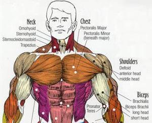 Los Músculos Mas Importantes Para Pelear